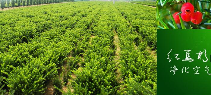 敬之曼地亚红豆杉繁育种植基地